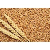 Mulu Gothumai Punjab Samba - Online Wheat in Coimbatore
